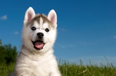 Wonderful All About The Siberian Husky Ideas. Prodigious All About The Siberian Husky Ideas. Siberian Husky Funny, Siberian Huskies, Husky Mix, Husky Puppy, Cute Puppies, Dogs And Puppies, Huskies Puppies, Dog Test, Cute Puppy Pictures