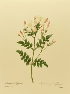 Royal Jasmine, French Print Botanical Art, White Flower Print, Pierre Joseph Redoute No. 68