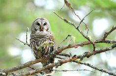 barred owl Barred Owl, Barn Owls, Ocean Creatures, Dark Eyes, Owl Art, Exotic Birds, Bird Feathers, Great Photos, Art Pictures