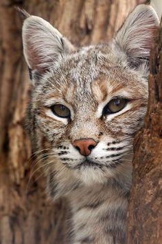 """spiritofthewoodlands: """"Curieux Wildcat par Megan Lorenz"""""""