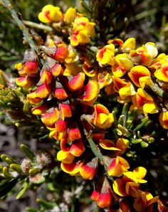 "Grevilleas mostly facebook page ""thinks this is Pultenaea stricta """
