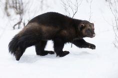 Beautiful Animal !  The Wolverine (Gulo gulo)