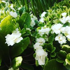 Double white primroses that I inherited from my mum. I find that plants with white flowers often grow stronger than other colours. These need to be divided annually because they grow so well in my garden and best of all slugs don't eat them!
