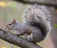 Information about and images of the Eastern gray squirrel. Wild Animal Games, Flying Squirrel Pet, Eastern Gray Squirrel, Walking In Nature, Chipmunks, Beautiful Creatures, Science Nature, Mammals, Squirrels