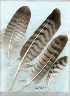 hawk feathers- from the cabin! We have about 12 of these :) Red Tail Hawk Feathers, Flight Feathers, Bird Feathers, Hawk Wings, Feather Meaning, Fly Drawing, Hawk Bird, Red Tailed Hawk, Learn To Fly