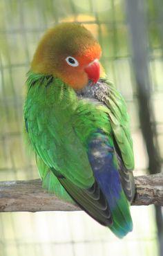 Fischer's Lovebird. Green back and blue rump.