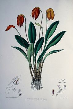 wapiti3:  The genus Masdevallia /issued by the Marquess of Lothian, chiefly from plants in his collection of orchids at Newbattle Abbey...