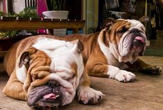 English Bulldogs. The tongue, that you see hanging out in so many pictures, is not cute or funny. It is also a sign of something being wrong. The tongue is too large for the mouth, or actually the muzzle is too short for the tongue to fit in.