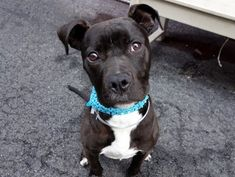 5/20/16 IN FOSTER CARE NOONIE – A1069611 ***NOT AT SHELTER – IN ACC FOSTER*** ***FOR MORE INFORMATION CONTACT: fosters@nycacc.org*** MALE, BROWN / WHITE, AM PIT BULL TER, 8 mos STRAY – STRAY WAIT, NO HOLD Reason STRAY Intake condition EXAM REQ Intake Date 04/07/2016, From NY 10466, DueOut Date 04/10/2016