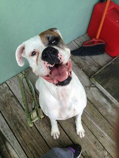 DEAF DOG needs your HELP! SOUTH FLORIDA AREA. 5 yr old Female Am Bulldog. Spayed & UTD on her shots. Her human parents got divorced & neither wants to keep her because she's deaf. She does have a funny bark but is sweet & she gets along w/ cats, dogs & KIDS! She'll go to the kill shelter soon! Please contact Tammy @ Angelico Cat Rescue if you're interested or know of someone…
