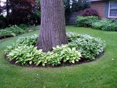 hostas under tree.  Have wanted this under our mature trees forever!