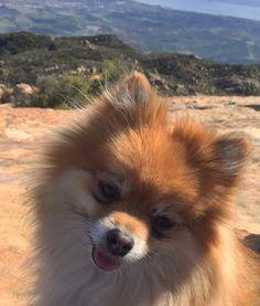 Hiking Pomeranian