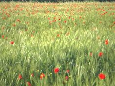 Poppies at Il Palazzone