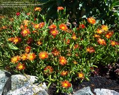 View picture of Ice Plant, Coppery Mesemb (Malephora crocea) at Dave's Garden.  All pictures are contributed by our community.