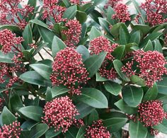 Skimmia japonica 'Rubella' - skimmia - Heesters | Maréchal. Red buds in winter, blossoms white in spring.
