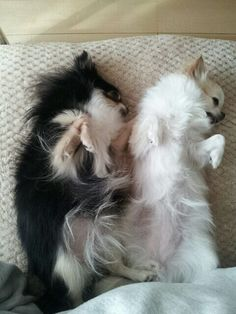My 2 chi chis love eachother and will share a puppy bed..they are the sweetest babies!