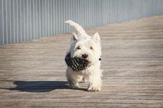 West Highland White Terrier, dogs, best friend
