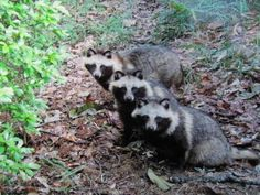 three raccoon dog 三連たぬき