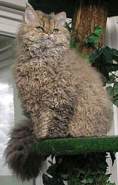 best images and photos ideas about selkirk rex - most effectionate cat breeds Pretty Cats, Beautiful Cats, Animals Beautiful, Cute Animals, Curly Haired Cat, Curly Cat, Cute Cats And Kittens, Cool Cats, Kittens Cutest