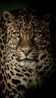 Aur kisi ke ghar me rehkar usko tiraskrit karna bhay to NAHI? Nature Animals, Animals And Pets, Funny Animals, Cute Animals, Beautiful Cats, Animals Beautiful, Wild Animal Wallpaper, Dark Wallpaper, Big Cats Art