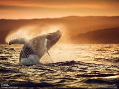 #FriFotos FLYING: a young humpback in #Newfoundland: http://ow.ly/2btd3p  via @NatGeoTravel Photo Contest