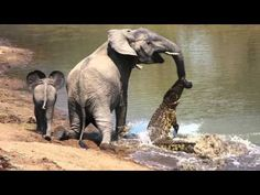 The moment a brave elephant mum shakes a vicious crocodile off her trunk Reptiles, National Geographic Animals, Strongest Animal, Deadly Animals, Nile Crocodile, Types Of Animals, Out Of Africa, Elephant Love, Cat Boarding