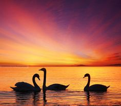 Swans  by Senna Ayd, via 500px