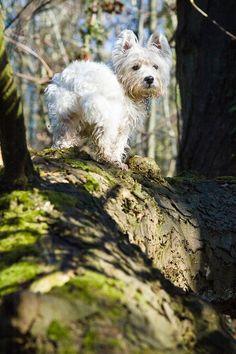 I am Crumpet 4  Westie  West Highland terrier  Dog by shortwork, $16.00