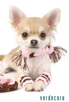 Chihuahua I must make my Lily leg warmers