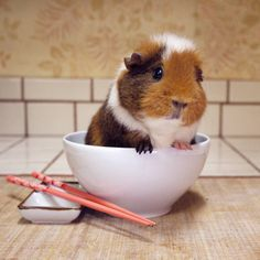 Guinea Piggies... Awwwww, look at this chap!
