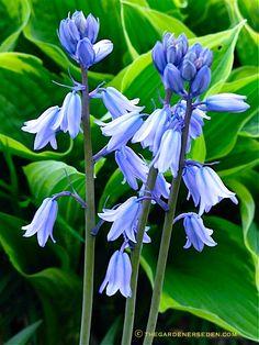 Spanish Bluebells (Scillia hispanica) ⓒ Michaela at TGE