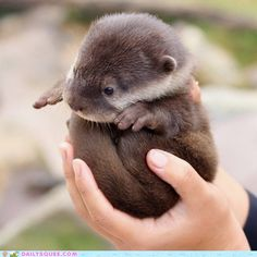 One of my favorite animals....otters, and it's a baby!