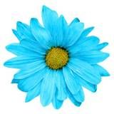 Blue is not a usual daisy color, but you can make a blue daisy using chemistry! Step by step instructions.