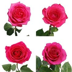 FiftyFlowers.com - Hot Pink Roses