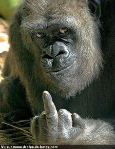 Silverback Gorilla Fight | photo un gorille qui fait un doigt !