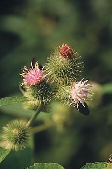Pesky weed, gourmet vegetable, or healing herb? Maybe all three. You've probably picked burdock's prickly fruits (burs) out of your socks or the dog's tail after an autumn hike, but did you know that burdock's roots, stems, leaves, and seeds are esteemed as food and have a long tradition of medicinal use?data-pin-do=