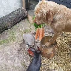 Some days you just need a video of a dog feeding carrots to his friends ? Some days you just need a video of a dog feeding carrots to his friends ? Cute Funny Animals, Cute Baby Animals, Funny Dogs, Animals And Pets, Farm Animals, Tired Animals, Cute Animal Videos, Funny Animal Pictures, Funny Bunny Videos