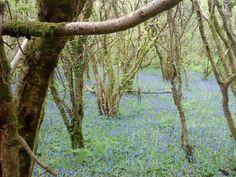 Bluebells on the Morlais Trail