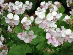 Secrets to growing geraniums