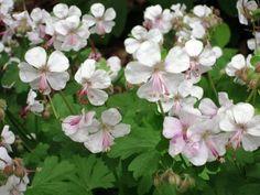 Secrets to growing geraniums