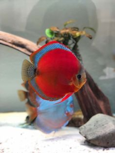 Diskus Aquarium, Saltwater Aquarium, Fish Tank Design, Betta Fish Types, Discus Fish, Cool Fish, Exotic Fish, Cichlids, Red Fish