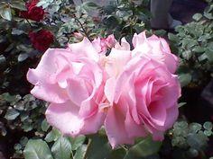 розы на пасечной