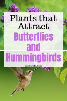 Beautiful perennial and annual plants that attract butterflies and hummingbirds. Trusty and easy to grow varieties the creatures love! Plants and Flowers to attract hummingbirds and butterflies to your garden this year Flowers That Attract Hummingbirds, How To Attract Birds, Attracting Hummingbirds, Hummingbird Flowers, Hummingbird Garden, Hummingbird Drawing, Hummingbird Nectar, Hummingbird Food, Hummingbird Tattoo