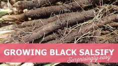 Growing black salsify, how to. Easy early spring harvest, how to become self-sufficient on less than 1 acre. Quick and easy tips, beginners guide Growing Veggies, Harvest Season, Early Spring, Acre, How To Become, Self, Easy, Black, Instagram
