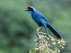 Turquoise Jay (Cyanolyca turcosa) by Nick_Athanas