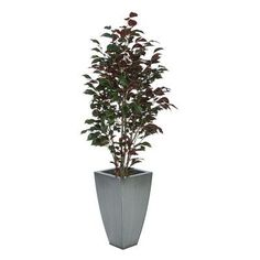 House of Silk Flowers Ficus Tree in Planter Base Color: Silver, Leaves Color: Red (Capensia)