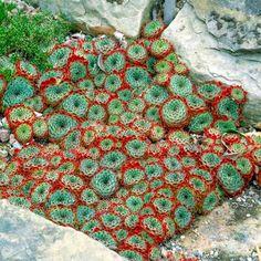 Sempervivum Plant - Calcareum - All Perennial Plants - Perennial Plants - Gardening - Suttons Seeds and Plants