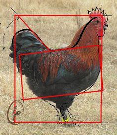 LP Cockerel in APA Breed Type Frame.