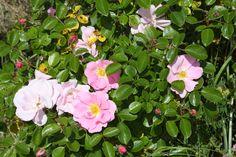 Single roses (unfortunately with black spot, a rose fungus).  Secret garden.  Vancouver, WA.  05/2014.