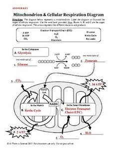 worksheet cellular respiration google search biology pinterest worksheets science. Black Bedroom Furniture Sets. Home Design Ideas